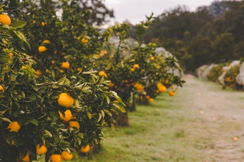 Row of orange citrus fruit trees on rural farm in morning frost
