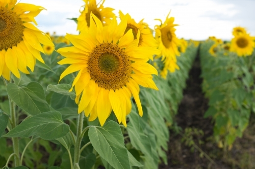 Row of sunflowers in a field