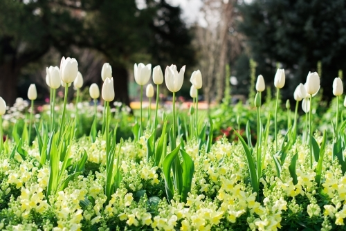 Rows of white tulips in green garden