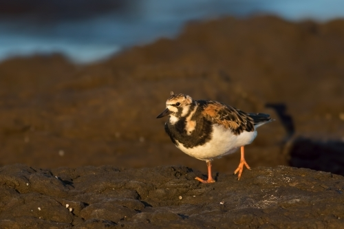 Ruddy Turnstone walking along rocky shore