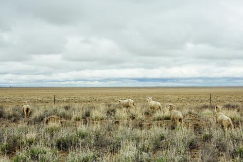 Rural landscape with sheep, brown grass and cloudy sky