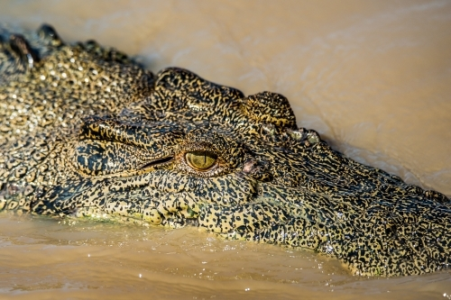 Salt water crocodile close up