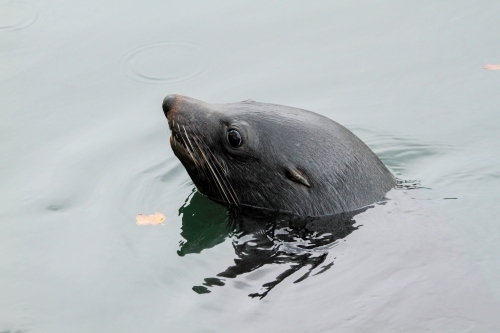 "A seal named ""Sammy the Seal"" looks around whilst swimming."