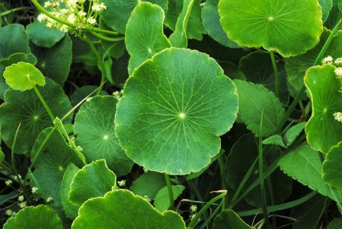 Pennywort or Kurnell's Curse is considered an environmental weed in New South Wales