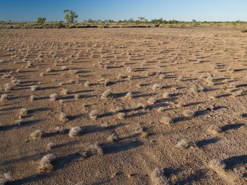Scattered spinifex with long shadows on arid ground