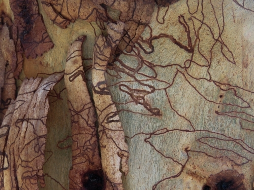 Scribbly gum bark peeling off new growth