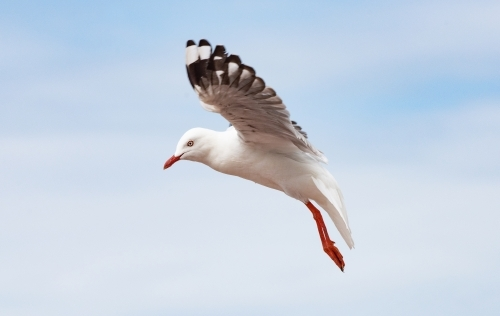 Seagull mid air in flight on a blue sky day