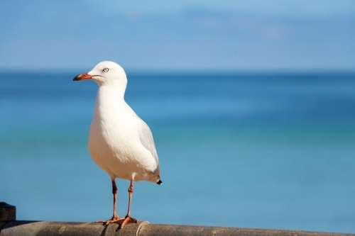 seagull sitting on fence with blue sea