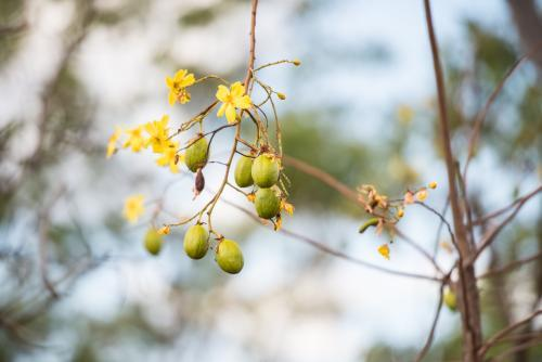 Seed pods and flowers on a Kapok Tree