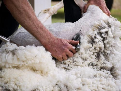 Close up of a sheep being shorn