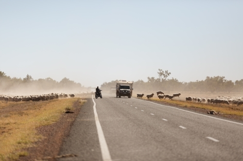Sheep crossing a road with two cars travelling on the road