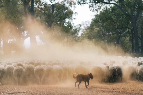 Sheep dog herding sheep