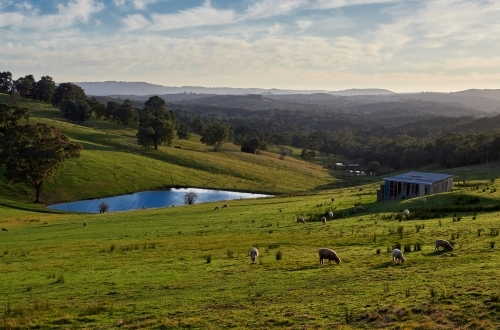 Sheep Grazing at Kangaroo Ground Farm