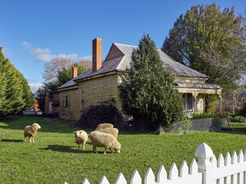 sheep grazing in the front yard of a rural house