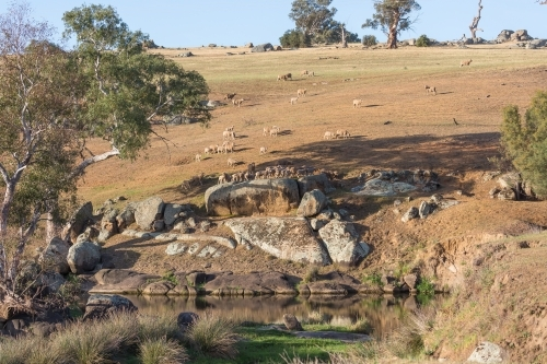 Sheep in a paddock with a dam: rural landscape
