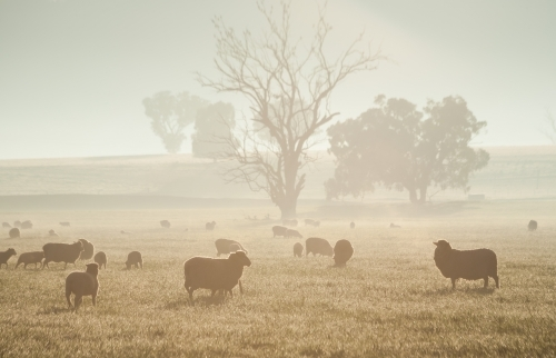 Sheep in a paddock with trees in soft warm light