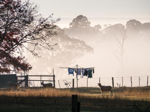Sheep in the backyard with washing on the line against morning fog