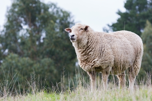 Sheep living at a sanctuary