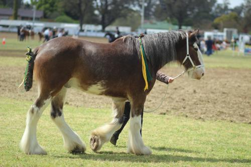 Shire horse being lead around the showring at Singleton agricultural show