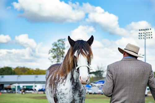 Shire horse on lead in the showring at Singleton agricultural show