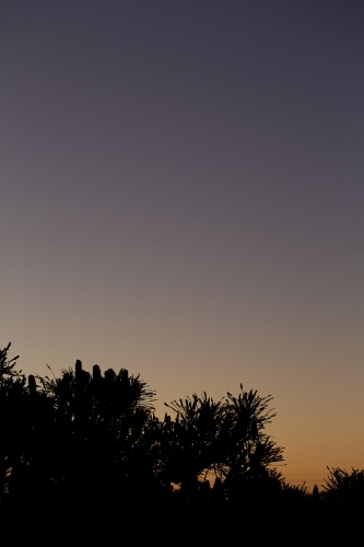Silhouette of banksia tree at dusk with lots of sky