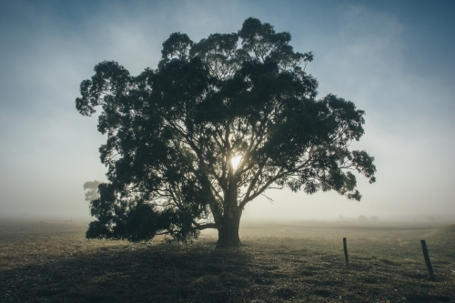 Silhouette of gum tree in a remote rural landscape on a misty morning