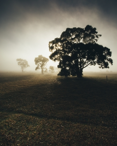 Silhouette of gum trees in a remote rural landscape on a misty morning