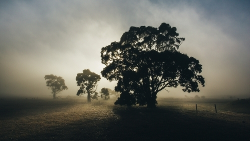 Silhouette of gum trees in rural landscape on an early misty morning