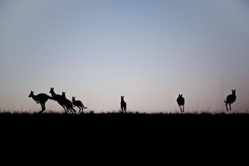 Silhouette of kangaroos leaping away over a hilltop at dusk