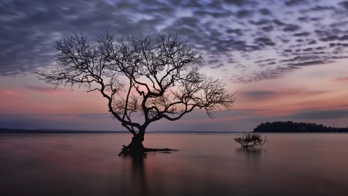Silhouette of mangrove tree in shallow water during beautiful pastel sunrise
