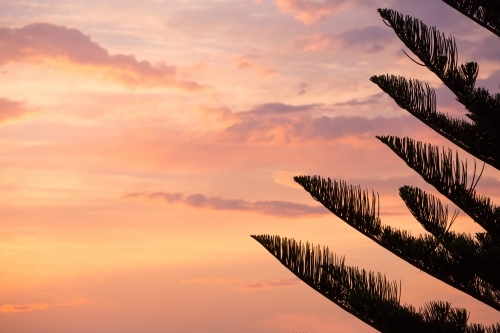 Silhouette of tree and pastel sunset at Bondi Beach