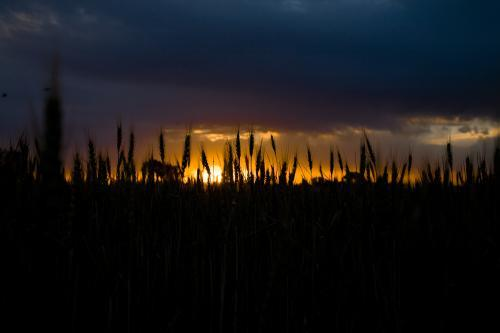 Silhouette of wheat stalks with dark stormy clouds at sunset