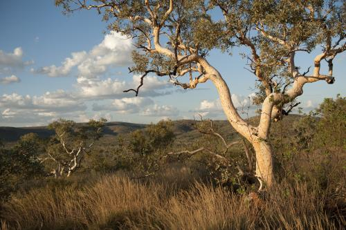 Single gum tree in foreground of pilbara landscape