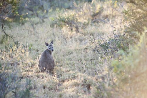 single kangaroo in bush looking back