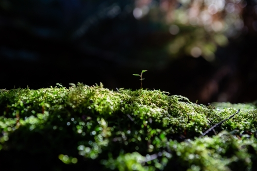 Single new sprout in the moss in a rainforest