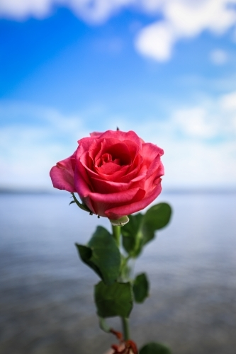 Single red rose against beach and cloudy blue sky