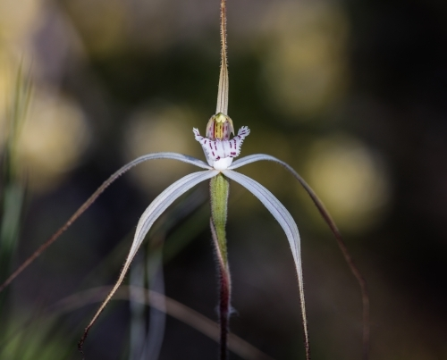 Single Spider Orchid wildflower in the bush