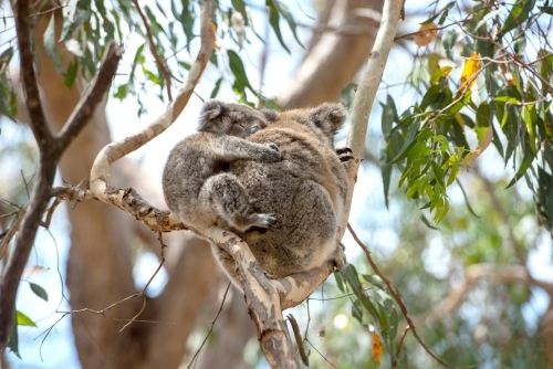 sleeping baby koala clinging to mother in native bush