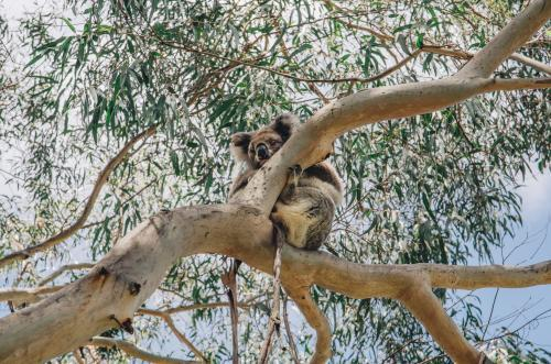 Sleeping koala in a gumtree