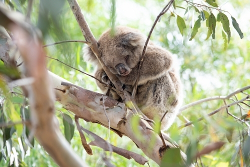 Sleeping koala in gum tree branches