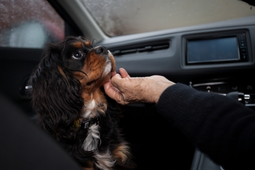 Small dog being petted in front seat of a car