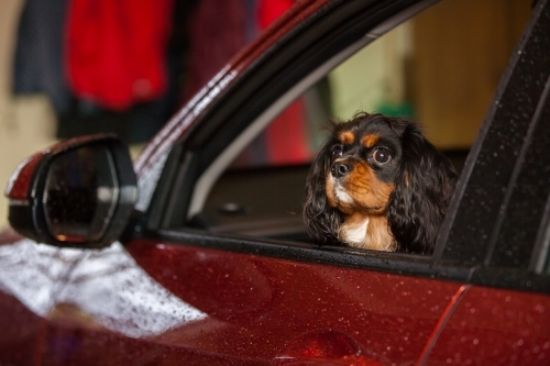 Small dog looking out open car window