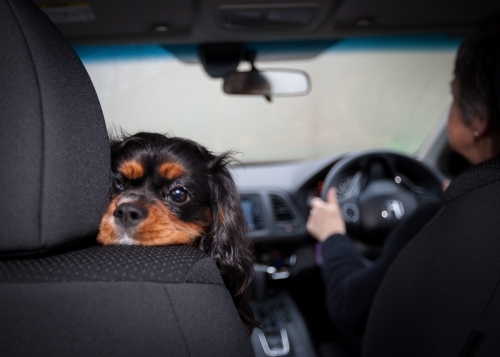Small dog resting it's head on front seat of car