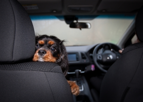 Small dog resting it's head on top of front seat.