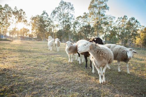 Small flock of sheep in a paddock on a cold sunlit morning