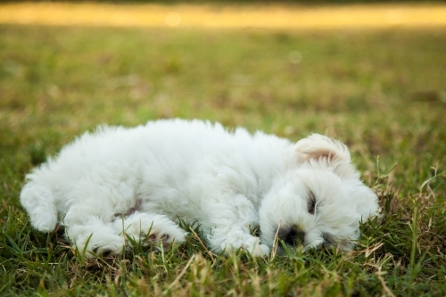 Small fluffy white puppy sleeping on the grass