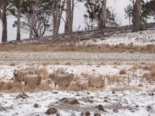 Small mob of sheep in a snow covered paddock