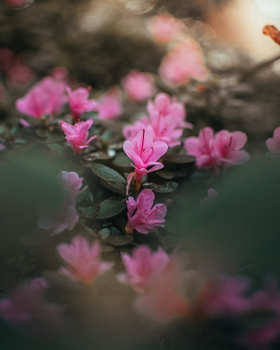Small Pink Flowers Blossoming in the Morning Sunlight