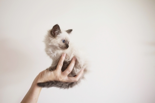 Small purebred kitten being held up.