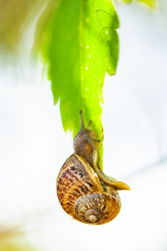 Snail crawling on leaf in garden